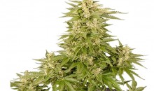 Royal Queen Seeds: Royal Critical Automatic
